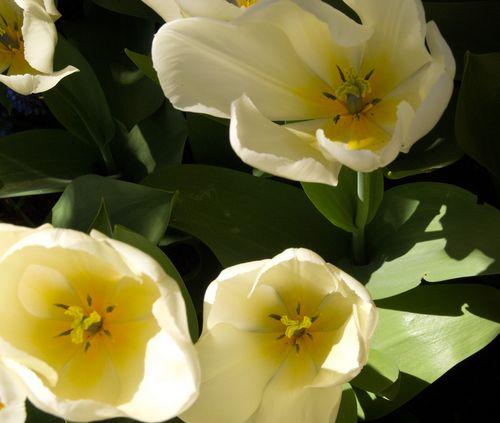 Tulip15dd