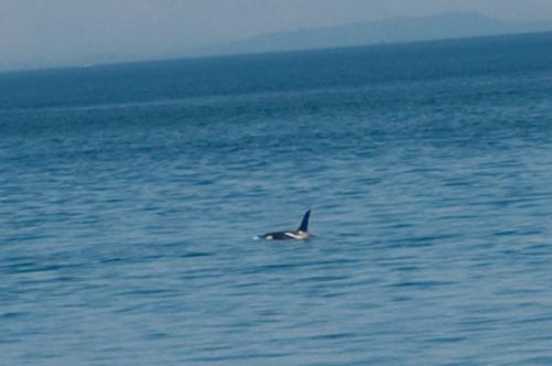 Orca7Crop