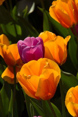 Tulip16j