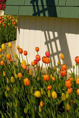 Tulip15x
